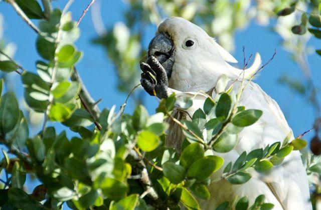 Попугай - какаду (1)