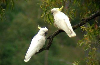 Попугай какаду - все о птице