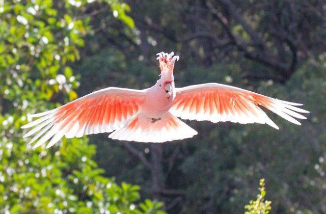 Попугай - какаду (2)