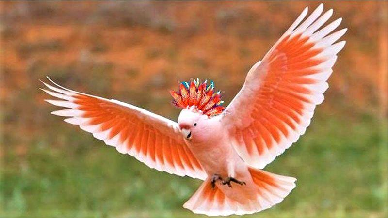 Попугаи какаду - среда обитания