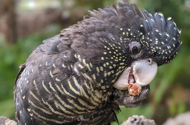 Попугай какаду с черны оперением