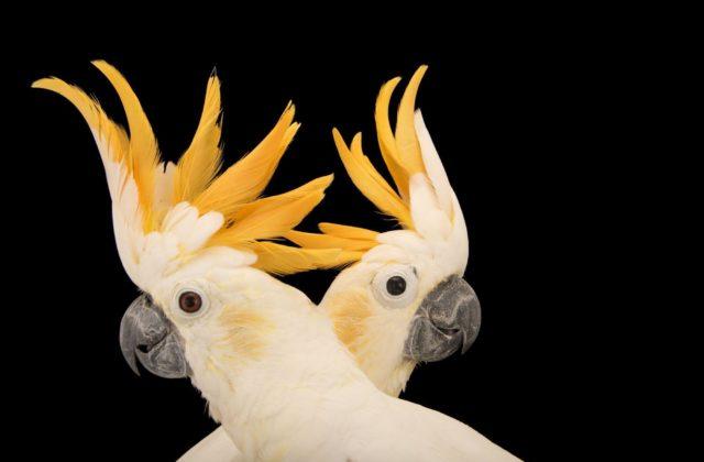 Попугай какаду с желтыми хохолками