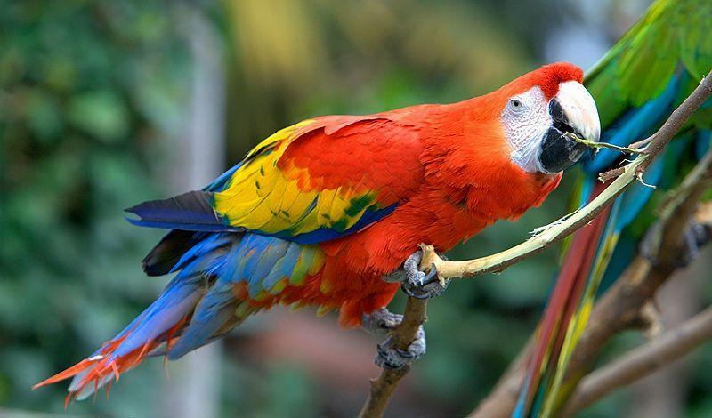Попугай красный ара - главное фото