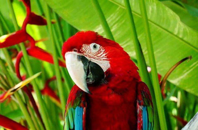 Попугай красный ара - клюв