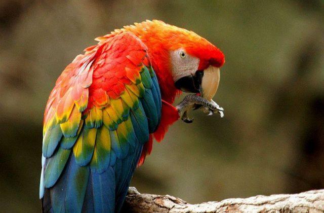 Попугай красный ара (5)
