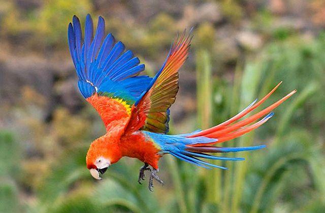 Попугай красный ара в полете