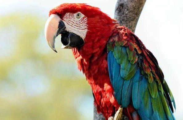 Попугай красный ара - голова