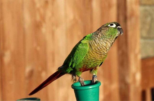 Пиррура попугай (1)