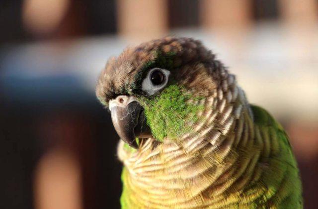 Пиррура попугай (2)