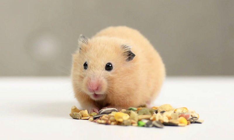 Хомячок ест зерновую смесь