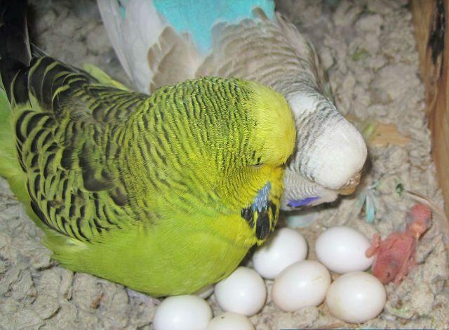 Птенцы у волнистых попугаев