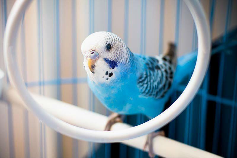 Учим волнистого попугая садиться на руку