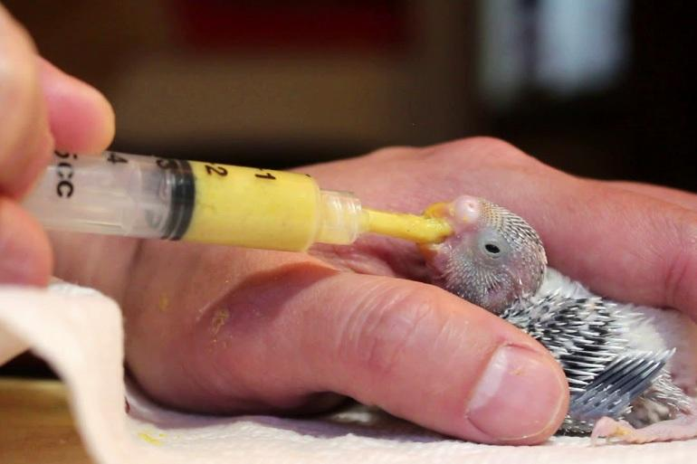 Искусственное вскармливание птенца волнистого попугая