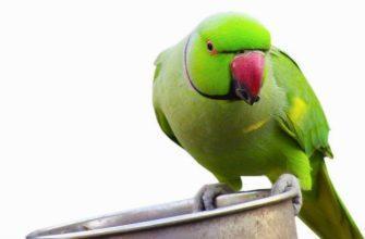 Рацион ожерелового попугая - главное фото