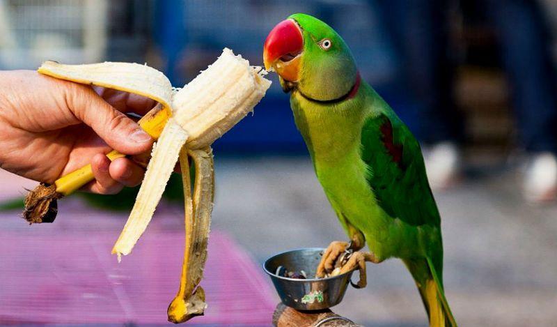 Все об ожереловых попугаях