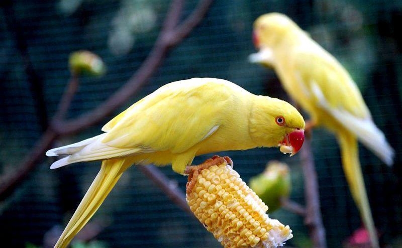 Ожереловый попугай - кормление, рацион