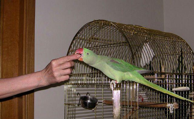 Рацион ожерелового попугая