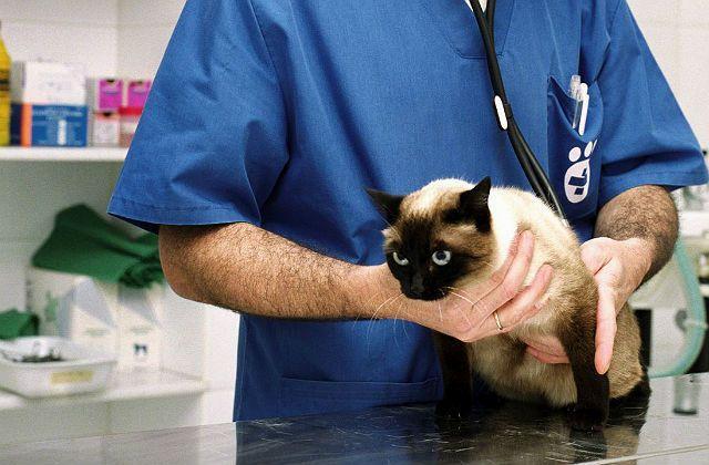 Шишки на животе у кошки - диагностика