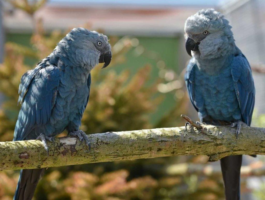 Синий попугай ара - уход и содержание