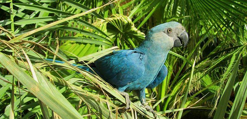 Синий попугай ара - среда обитания