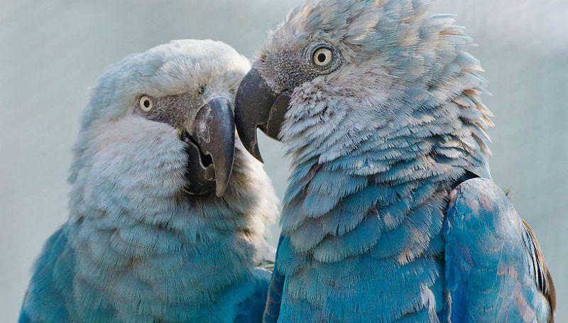 Пара синих ара