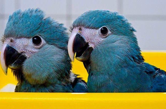 Синий попугай ара - голова