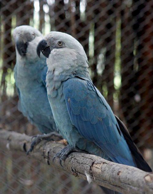 Синий попугай ара - внешний вид