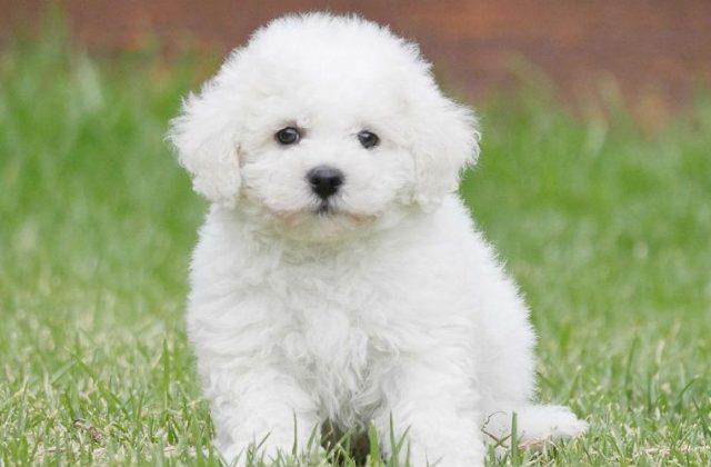 Собака бишон фризе - щенок