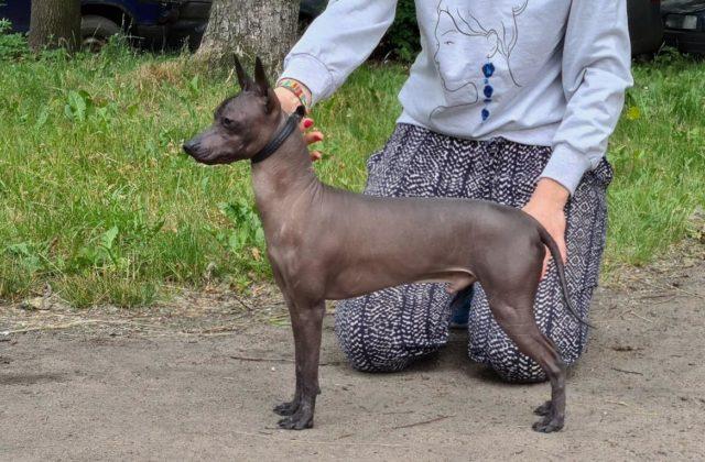 Собака Ксолоитцкуинтли (3)