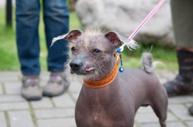 Собака Ксолоитцкуинтли (4)