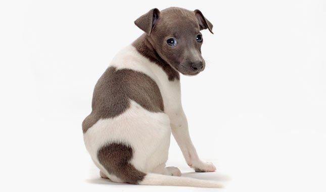Собака левретка - выбор щенка
