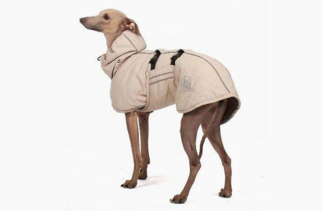 Собака левретка в одежде