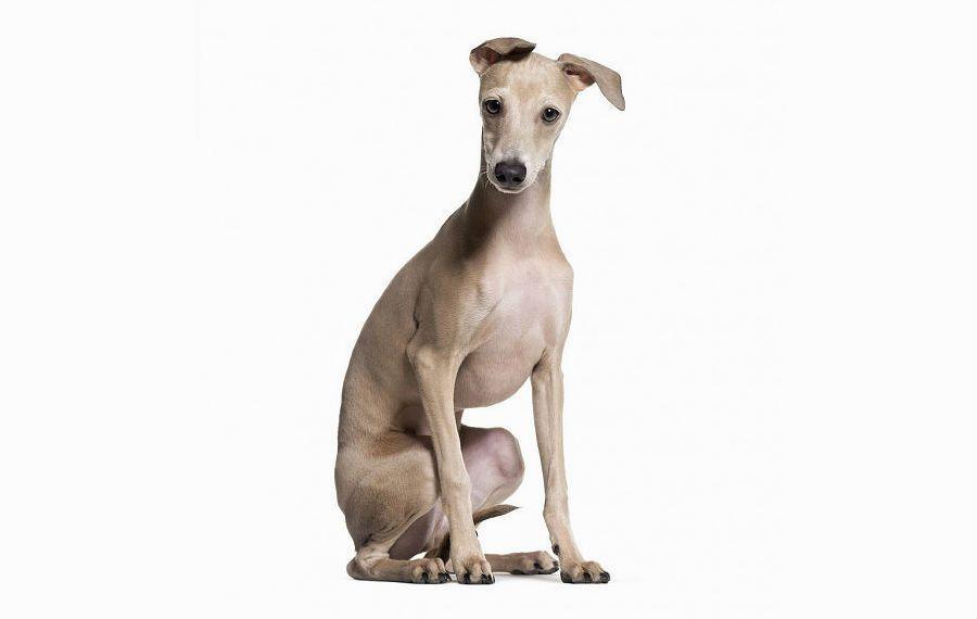 Собака левретка - дрессировка