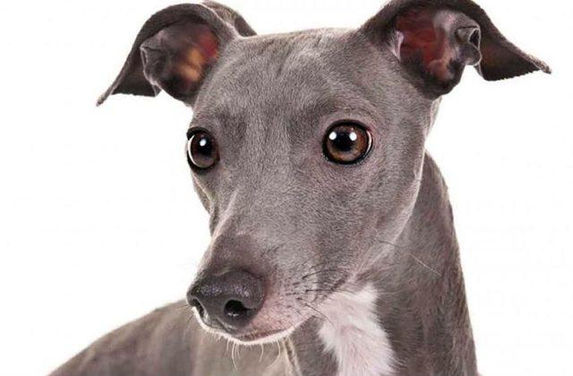 Собака левретка - голова