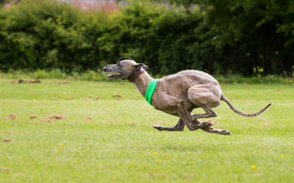 Собака левретка - физические нагрузки