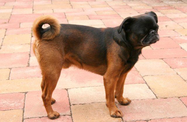 Собака пти-брабансон (1)