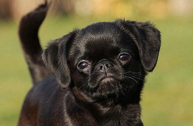 Собака пти-брабансон (2)