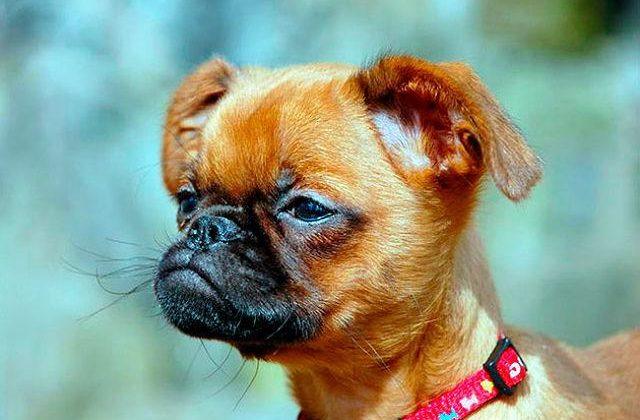 Собака пти-брабансон (4)