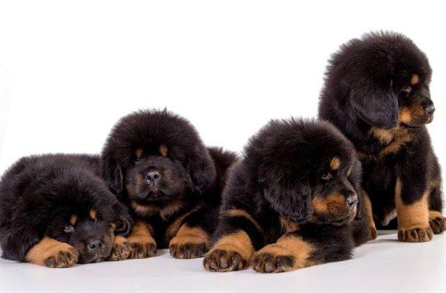 Собака тибетский мастиф (1)