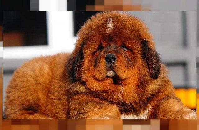 Собака тибетский мастиф (2)
