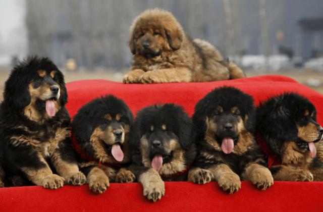 Собака тибетский мастиф (3)