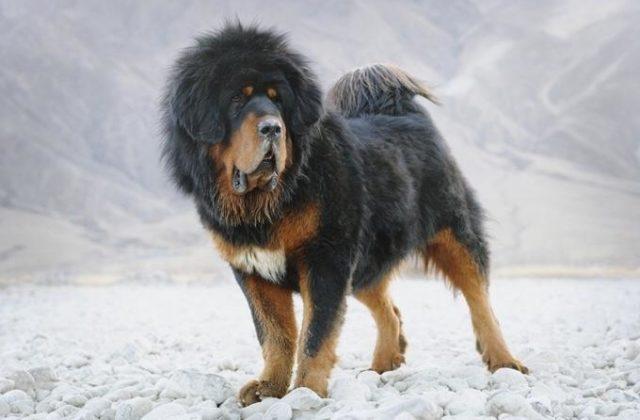Собака тибетский мастиф (4)