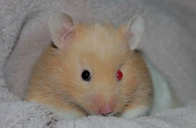 У хомяка красные глаза - главное фото