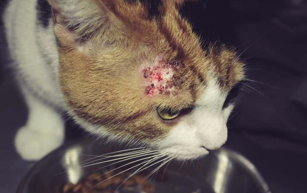 Болячка на голове у кошки