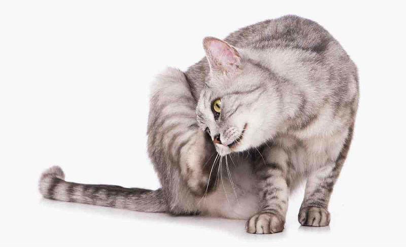 У кота на голове болячки - аллергии