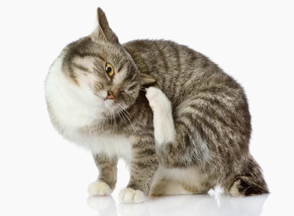 Эктопаразитоз у кота