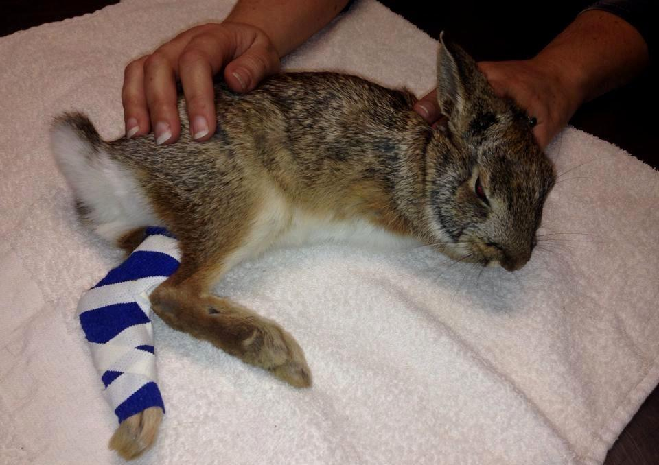 Паралич задней лапки у кролика