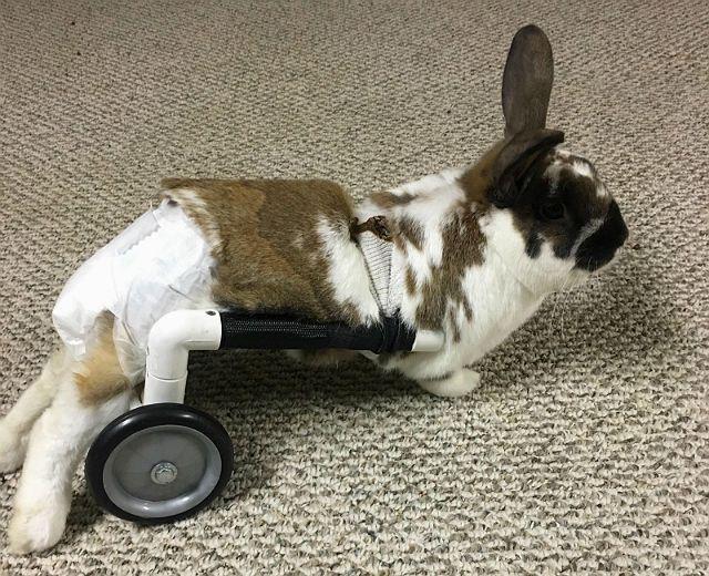 Причины паралича лап у кроликов