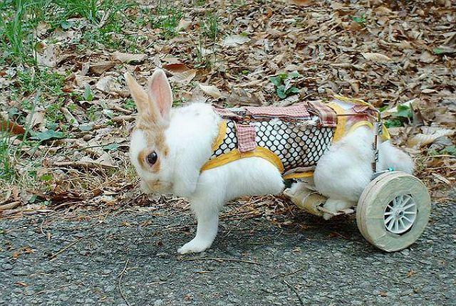 У кроликов отказывают задние лапы - недостаток кальция
