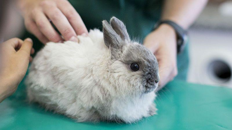 У кроликов отказывают задние лапы - травмы